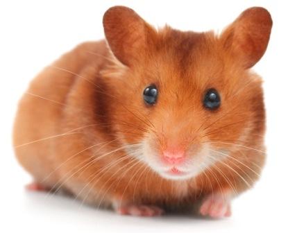 Syrian Hamster empty cheek pouches shutterstock_29269285