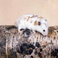 hamster picaso