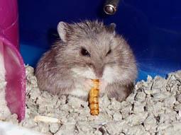 hamsterworm