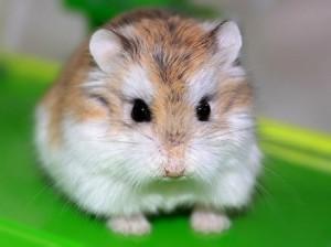 robokosdwarf-hamster