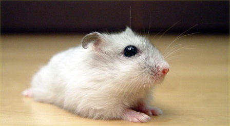 winter-white-hamsterfile-pearl-winter-white-russian-dwarf-hamster---frontjpg-qokcxc24